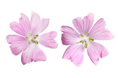 Musk Mallow Flower. Pink Musk Mallow Malva moschata flower isolated on white Stock Photography
