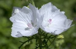 Musk mallow flowers Stock Photo