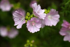 Musk Mallow (Malva moschata). Flower of the Musk Mallow (Malva moschata Royalty Free Stock Photography