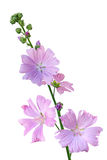 Musk Mallow Malva moschata flower. Branch  isolated on white Stock Images