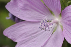 Musk Mallow Stock Photography