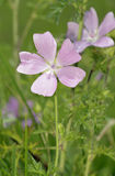 Musk Mallow Royalty Free Stock Photography