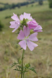 Musk Mallow Stock Images