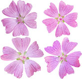 Musk-Mallow Set Stock Photography
