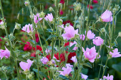 Musk mallow in summer. Pink flowers. Herb name Musk Mallow. Latin name Lavatera thuringiaca. And some oats Royalty Free Stock Image