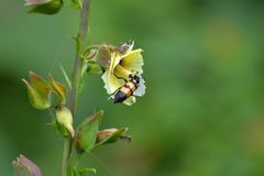 Musk Mallow Wild Flower and Yellow Banded Beetle Stock Images