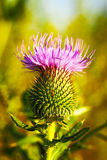 Musk or Nodding Thistle, Carduus nutans Royalty Free Stock Images