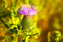 Musk or Nodding Thistle, Carduus nutans Stock Image