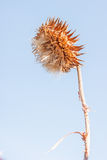 Musk or Nodding Thistle in Final Stage Royalty Free Stock Photo
