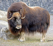 Musk-ox 1. Portrait of Musk-ox in its enclosure Stock Image