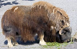 Musk-ox 10 Stock Image