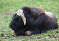 Musk ox. Portrait of a musk ox (Ovibos moschatus) in nature Royalty Free Stock Image