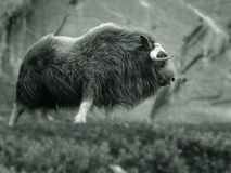 Musk ox. In the wilderness of Norway.  Species: Ovibos moschatus Stock Photography