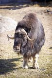 Musk Ox royalty free stock photography