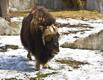 Musk-ox. Standing on snow, winter. Recorded in Moscow zoo Royalty Free Stock Photo