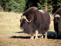 Musk ox. Great big male musk ox in the sun looking at the camera Stock Photography