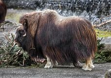 Free Musk-ox 19 Stock Images - 113247294