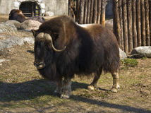 Musk ox Royalty Free Stock Image