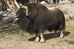 Musk ox royalty free stock photo