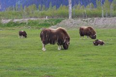 Musk ox. Animals of far north Royalty Free Stock Photography