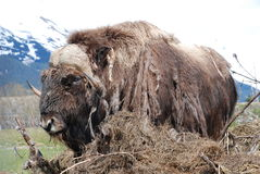 Musk Ox. A Musk Ox eating in Alaska on a spring day Stock Images