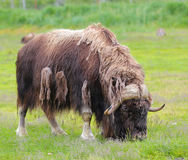Musk ox. Shedding winter coat Royalty Free Stock Photos