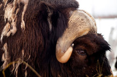 Antlers of Musk Ox Animal in Alaska Wild Stock Photography