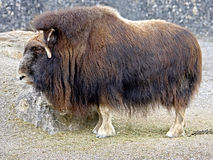 Musk-ox 3 Stock Image