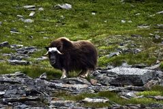 Musk ox Stock Image