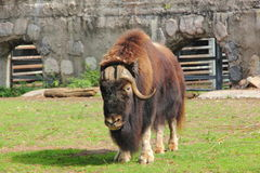 Free Musk Ox. Royalty Free Stock Photography - 36452617