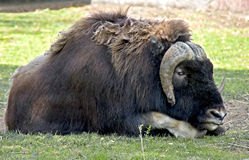 Musk-ox 4 Stock Images