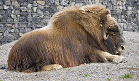 Musk-ox 6 Stock Photo