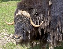 Musk-ox 7 Royalty Free Stock Photo