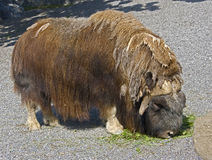 Musk-ox 8 Stock Images