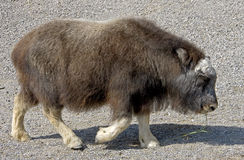 Musk-ox calf 2 Royalty Free Stock Image