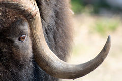 Musk Ox Royalty Free Stock Images