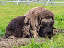 The musk ox is asleep royalty free stock photography