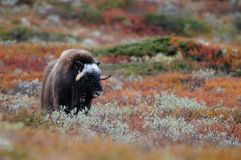 Musk ox in autumn landscape. Musk ox in a autumn landscape, dovrefjell, norway, ovibos moschatus Royalty Free Stock Photos