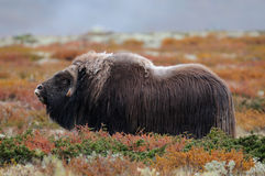 Musk ox in autumn landscape stock images