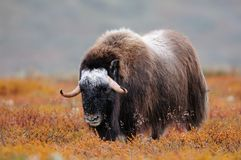 Musk ox in autumn landscape. Musk ox in a autumn landscape, dovrefjell, norway, ovibos moschatus Royalty Free Stock Image