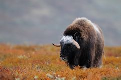 Musk ox in autumn landscape. Musk ox in a autumn landscape, dovrefjell, norway, ovibos moschatus Royalty Free Stock Photography