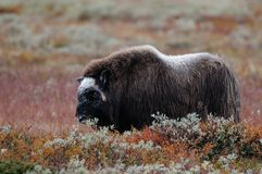Musk ox in autumn landscape. Musk ox in a autumn landscape, dovrefjell, norway, ovibos moschatus Royalty Free Stock Images