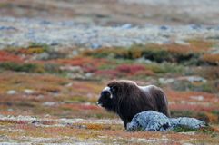 Musk ox in autumn landscape Stock Image