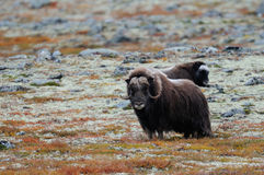 Musk ox in a autumn tundra Stock Photography