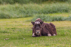 Musk Ox Bedded Stock Image