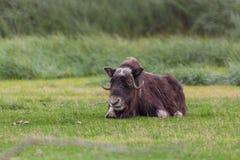 Musk Ox. A musk ox bedded in green grass in Alaska Stock Photo