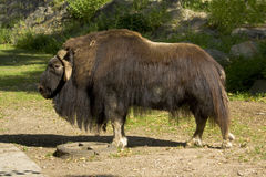 Musk-ox Royalty Free Stock Image