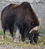 Musk-ox 9 Stock Images