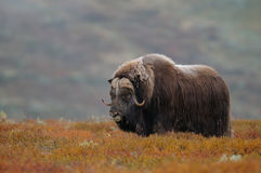 Musk ox bull in autumn landscape. Musk ox bull  in a autumn landscape, dovrefjell, norway, ovibos moschatus Royalty Free Stock Photos