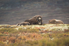Musk Ox and Calf. Stock Photography